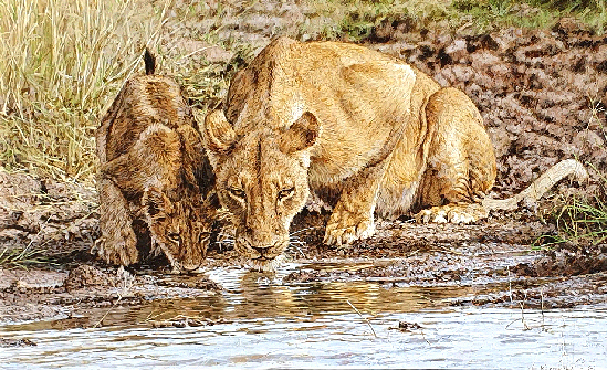 Lioness Mother and Cub Drinking