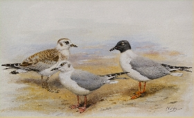 Studies of Gulls; Male, Female and Immature